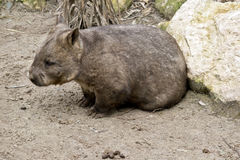 Wombat. This is a close up of a wombat side view Royalty Free Stock Images