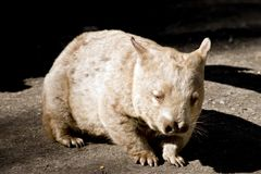 Wombat. This is a close up of a wombat stock photo