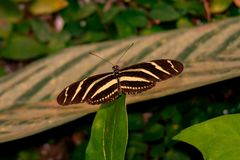 Close up from Wonderful Butterfly over a plant. A Close up from Wonderful Butterfly over a plant stock photos