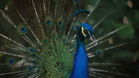 Close up of wonderful peacock with his bright plumage, neck and train. Image of wild indian peafowl with fantastic stock video