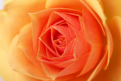 Close-up of a wonderful rose Royalty Free Stock Photos