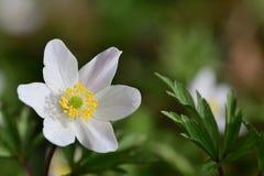 Wood anemone Anemone nemorosa royalty free stock photo