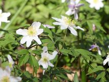 Close-up of Wood Anemone or Granny`s Nightcap royalty free stock images