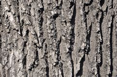 Close up of a wood brown bark texture in daytime outdoor. S Royalty Free Stock Photo