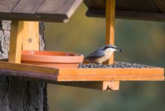Free Close Up Wood Nuthatch Or Eurasian Nuthatch, Sitta Europaea Perched On The Bird Feeder Table With Sunflower Seed. Bird Feeding Stock Photos - 162855213