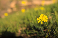 Close up of wood sorrel. Close up yellow of wood sorrel in the sicilian countryside Stock Photos