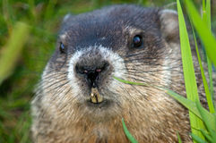 Close up of a Woodchuck peering out Royalty Free Stock Images