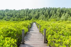 Close up of a wooden bridge of Ceriops Tagal with golden ceramics Tagus background in a mangrove forest. Located at Prasae, Rayong, Thailand Stock Photography