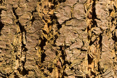 Close-up of a wooden crust of a living tree Royalty Free Stock Photo