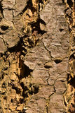 Close-up of a wooden crust of a living tree Royalty Free Stock Images