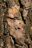 Close-up of a wooden crust of a living tree Stock Photography