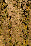 Close-up of a wooden crust of a living tree Stock Photos