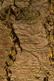Close-up of a wooden crust of a living tree Stock Images