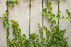 Close up wooden fence covered in ivy Royalty Free Stock Photography