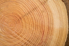 Close up of wooden texture of cut tree trunk Royalty Free Stock Images