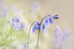Close up of woodland bluebells with a soft pastel colour effect Royalty Free Stock Photography