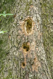 Close-up of Woodpecker Holes on a Tree. Woodpeckers created holes in trees to store food, finding insects or to build a nest Stock Photo