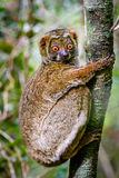 Close up of Woolly Lemur clinging to tree stock photo