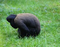 Woolly monkey in tree. Close up of woolly monkey eating in the grass Stock Photos