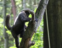 Woolly monkey in tree. Close up of woolly monkey eating in the grass Stock Images