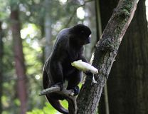 Woolly monkey in tree. Close up of woolly monkey eating in the grass Stock Photography