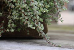 Close-up of Wooly thyme groundcover plant Stock Photography