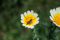 Close up of Worker Bee pollinating a White-Yellow Daisy during Spring. Located in Pani Hill overlooking the city of Athens, it is a place of blooming life where stock photos