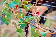 Close up of Worker`s Hands Cutting Red Grapes from vines during wine harvest. Close up of Worker`s Hands Cutting Red Grapes from vines during wine harvest in royalty free stock photography