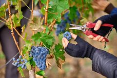 Close up of Worker`s Hands Cutting Red Grapes from vines during wine harvest. Close up of Worker`s Hands Cutting Red Grapes from vines during wine harvest in stock images