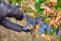 Close up of Worker`s Hands Cutting Red Grapes from vines during wine harvest. Close up of Worker`s Hands Cutting Red Grapes from vines during wine harvest in stock photos
