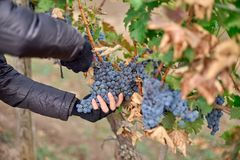 Close up of Worker`s Hands Cutting Red Grapes from vines during wine harvest. stock image