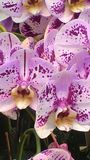 PHALAENOPSIS Potted plant royalty free stock photography
