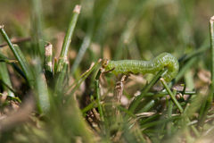 Close up of a worm Royalty Free Stock Image