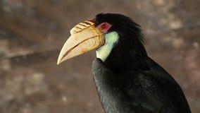 Close-up Wreathed Hornbill bird stock video