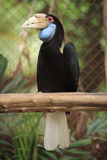 Close up Wreathed Hornbill Royalty Free Stock Photography