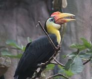 Wreathed hornbill, Rhyticeros undulatus. Close up wreathed hornbill in tree Stock Photography