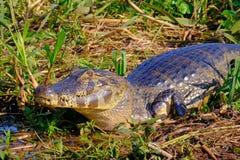 Close up of Yacare Caiman, Caiman Crocodilus Yacare Jacare, in the grassland, Pantanal, Porto Jofre, Mato Grosso, Brazil. South America royalty free stock photos