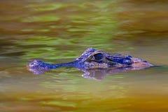 Close up of Yacare Caiman, Caiman Crocodilus Yacare Jacare, swimming in the Cuiaba river, Pantanal, Porto Jofre, Brazil. Close up of Yacare Caiman, Caiman stock photos