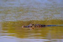 Close up of Yacare Caiman, Caiman Crocodilus Yacare Jacare, swimming in the Cuiaba river, Pantanal, Porto Jofre, Brazil. Close up of Yacare Caiman, Caiman stock photo