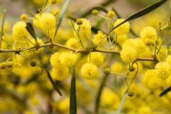 Close up of yellow acacia tree on the nature Royalty Free Stock Images