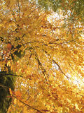 Close up of yellow autumn leaves Stock Photos