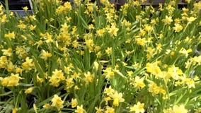 Close up of yellow beautiful daffodils narcissus. This video is about close up of yellow beautiful daffodils narcissus stock video