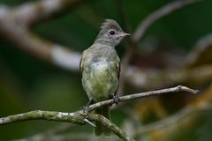 Close up of a Yellow-bellied Elaenia Elaenia flavogaster royalty free stock photos
