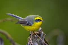 Close up of  Yellow-bellied Fantail Stock Photo