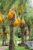 Close Up Yellow Betel Nut At Palm Tree Stock Photos