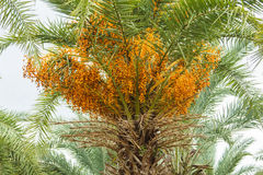 Close Up Yellow Betel Nut At Palm Tree Royalty Free Stock Photos