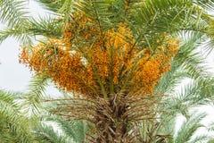 Close up yellow betel nut at palm tree. Ripe Betel Nut or Areca Nut Palm on Tree Royalty Free Stock Photos