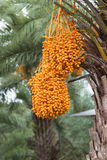 Close up yellow betel nut at palm tree Stock Photos