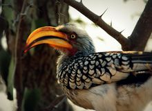 Close up of a yellow billed hornbill royalty free stock image