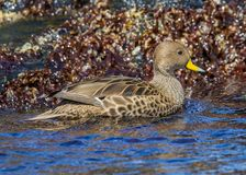 Close up of yellow-billed pintail in South Georgia near Antarctica. In spring Royalty Free Stock Images